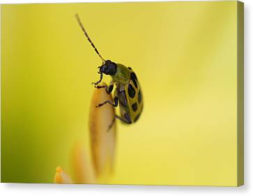 Cucumber Beetle Canvas Print by David Yunker