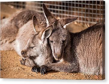 Cuddling Kangaroos Canvas Print by Ray Warren