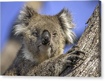 Cuddly Koala Canvas Print by Ray Warren