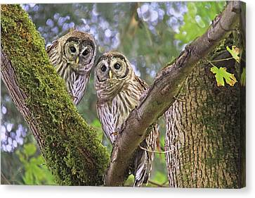 Curious Barred Owlets Canvas Print by Jennie Marie Schell