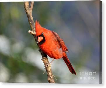 Canvas Print featuring the photograph Curious Cardinal by Lisa L Silva