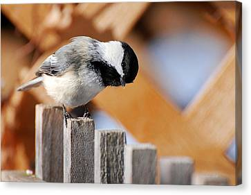Curious Chickadee Canvas Print by Christina Rollo