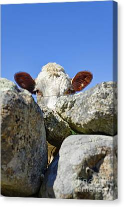 Curious Cow Canvas Print by John Greim