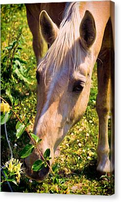Curious Palomino Canvas Print by Sandi OReilly