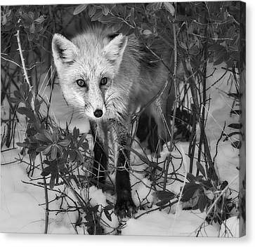 Curious Red Fox Bw Canvas Print