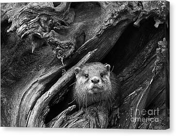 Canvas Print featuring the photograph Curious River Otter by Inge Riis McDonald
