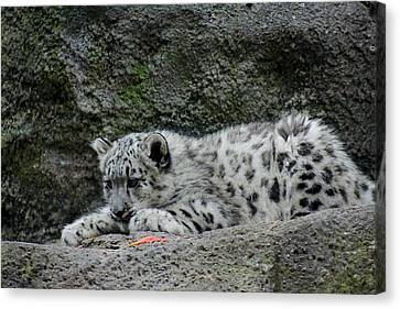 Curious Snow Leopard Cub Canvas Print