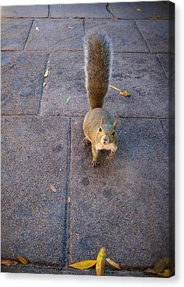 Curious Squirrel Canvas Print by Michele Stoehr