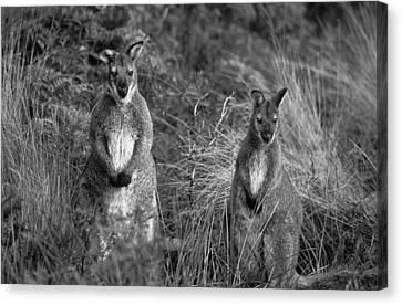 Curious Wallabies Canvas Print by Sean Davey