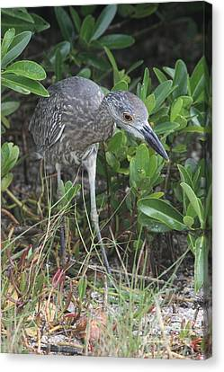 Curiously Night Heron Chick Canvas Print by Christiane Schulze Art And Photography