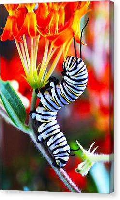 Curly Caterpiller Canvas Print by Betsy Straley