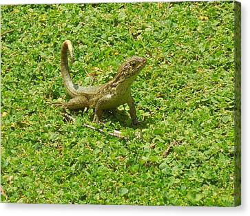 Curly-tailed Lizard Canvas Print by Ron Davidson