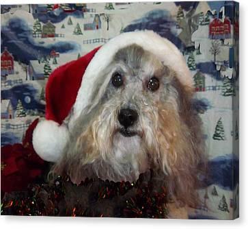 Curlys Christmas Canvas Print by Rosalie Klidies