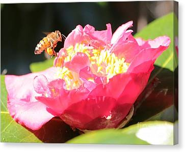 Cute Bee On Camellia Canvas Print