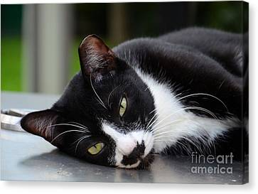 Cute Black And White Tuxedo Cat With Nipped Ear Rests  Canvas Print
