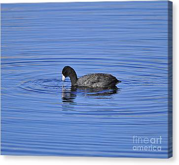 Cute Coot Canvas Print by Al Powell Photography USA