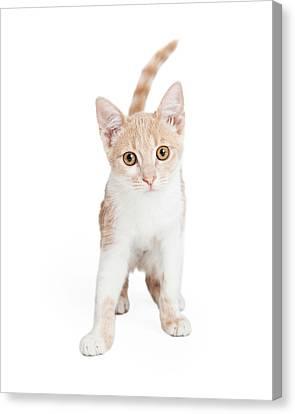 Cute Domestic Shorthair Kitten Standing  Canvas Print by Susan Schmitz