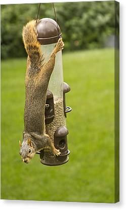 Cute Hanging Squirrel Canvas Print by James BO  Insogna