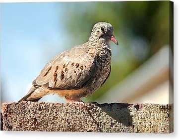Cute Inca Dove Canvas Print