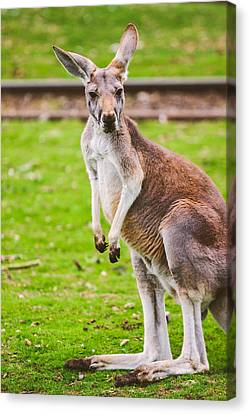 Cute Kangaroo Portrait Canvas Print by Pati Photography