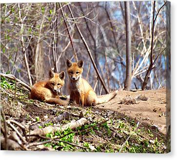 Fox Kit Canvas Print - Cute Kit Foxes Together 1 by Thomas Young
