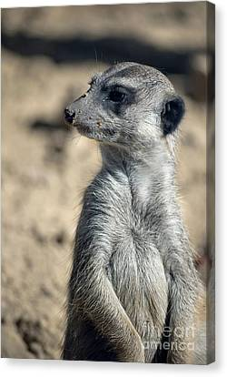 Cute Meerkat Canvas Print by Design Windmill
