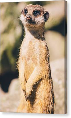 Cute Meerkat Portrait Canvas Print by Pati Photography