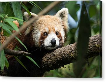 Cute Panda Canvas Print by Fotosas Photography