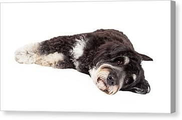 Cute Poodle Mix Breed Dog Laying Down Canvas Print by Susan Schmitz