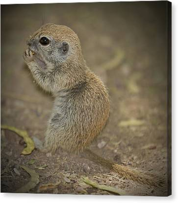 Cute Prairie Dog Canvas Print