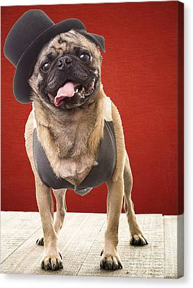 Cute Pug Dog In Vest And Top Hat Canvas Print by Edward Fielding