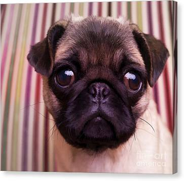Pug Puppy Cute Dog Breed Portrait Pet Animal Toy Lap Canvas Print - Cute Pug Puppy by Edward Fielding