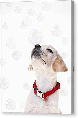 Cute Puppy With A Soap Bubble On His Nose. Canvas Print