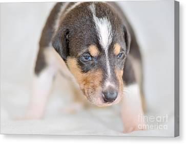 Cute Smooth Collie Puppy Canvas Print by Martin Capek
