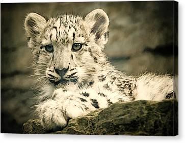 Cute Snow Cub Canvas Print
