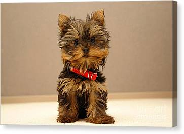 Cute Terrier Puppy Canvas Print by Marvin Blaine