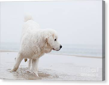 Cute White Dog Playing On The Beach Canvas Print