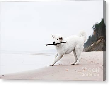Cute White Dog Playing With Stick On The Beacholish Tatra Sheepdog Canvas Print