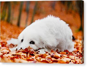 Cute White Puppy Dog Lying In Leaves In Autumn Forest Canvas Print by Michal Bednarek