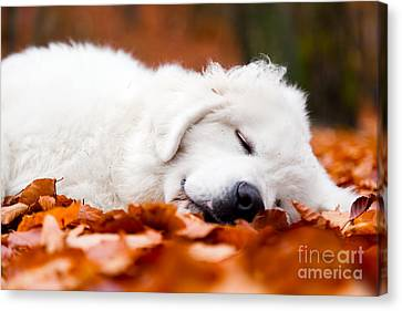 Cute White Puppy Dog Sleeping In Leaves In Autumn Forest Canvas Print by Michal Bednarek