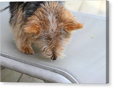 Fluffy Canvas Print - Cutest Dog Ever - Animal - 011325 by DC Photographer