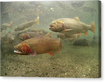 Cutthroat Trout In The Spring Idaho Canvas Print by Michael Quinton