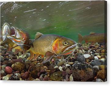 Cutthroat Trout Spawning In The Gros Canvas Print by Charlie James