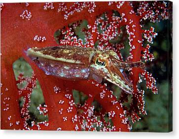 Cuttlefish (sepiida Canvas Print by Jaynes Gallery