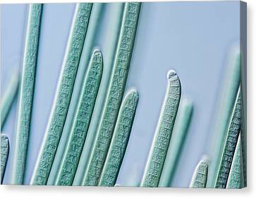 Cyanobacteria Filaments Canvas Print by Gerd Guenther