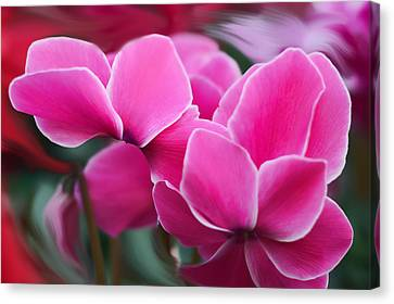 Cyclamen Purpurascens Canvas Print