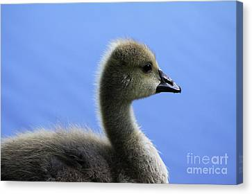 Canvas Print featuring the photograph Cygnet by Alyce Taylor