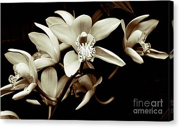 Cymbidium Orchids Canvas Print