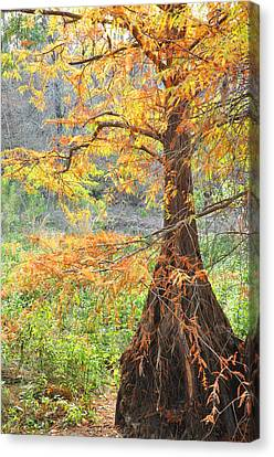Cypress In Autumn Canvas Print