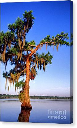 Cypress Tree Draped In Spanish Moss Canvas Print by Thomas R Fletcher
